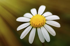 Macro of wild daisy in the field Stock Image