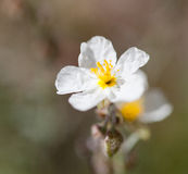 Macro of a wild flower : Helianthemum apenninum. Close-up of a wild flower realized in the south of France during summer Stock Images