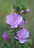 Macro of a wild flower : Malva alcea. Close-up of a wild flower realized in the south of France during summer Royalty Free Stock Image