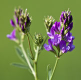 Macro of a wild flower : Medicago sativa Royalty Free Stock Photo