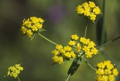 Macro of a wild flower : Pastinaca sativa Stock Image
