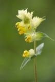 Macro of a wild flower : Rhinanthus alectorolophus Royalty Free Stock Images