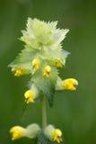 Macro of a wild flower : Rhinanthus alectorolophus Royalty Free Stock Photography