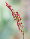 Macro of a wild flower : Rumex acetosa Royalty Free Stock Image