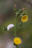 Macro of a wild flower : Sonchus arvensis Royalty Free Stock Photos