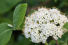 Macro of a wild flower : Viburnum lantana. Close up of a wild flower realized in the south of France during summer stock image