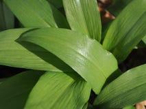 Macro of wild garlic plants stock photo