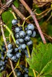 Wild grapes growing on the vine after a nights dew. royalty free stock image