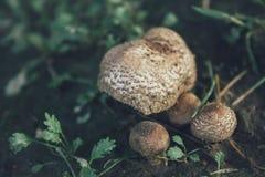 Macro of wild mushroom blooming in green grass Royalty Free Stock Image