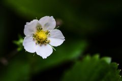 Macro of wild strawberry flower Stock Photo