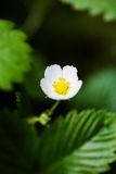 Macro of wild strawberry flower Royalty Free Stock Photography