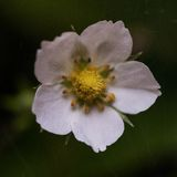 Macro of wild strawberry flower, vintage filter Royalty Free Stock Photo