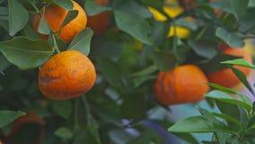Macro Wind Shakes Mandarins among Leaves TET Symbol in Vietnam. Macro wind shakes large orange mandarins hanging among green leaves symbol of Vietnamese New Year stock video footage