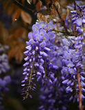 Macro wisteria flowers, natural background. Stock Photo