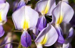 Macro of wisteria violet flower close up Royalty Free Stock Image