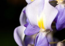 Macro of wisteria violet flower close up Stock Photos