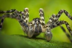 Macro Wolf Spider Stock Image