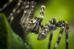 Macro Wolf Spider Royalty Free Stock Photography