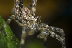 Macro Wolf Spider Royalty Free Stock Images
