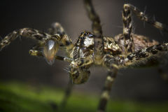 Macro Wolf Spider Stock Images