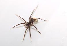Macro of a wolf spider (Pardosa lugubris) with egg sack Royalty Free Stock Photos