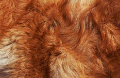 Macro Wool bright-red dog Stock Photography