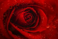 Macro work of red rose with drops of water royalty free stock photo