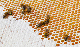 Macro of working bee on the honey cells Royalty Free Stock Images