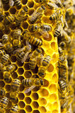 Macro of working bee on honeycells Royalty Free Stock Photography