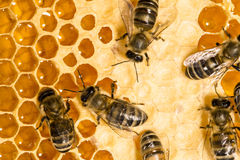 Macro of working bee on honeycells. Royalty Free Stock Photos