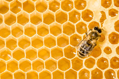 Macro of working bee on honeycells. Stock Photography