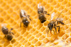 Macro of working bee on honeycells. Royalty Free Stock Photography