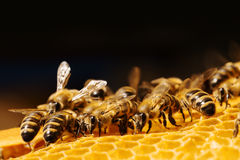Macro of working bee on honeycells. Stock Images