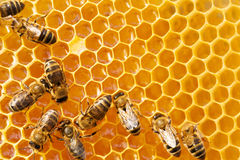 Macro of working bee on honeycells. Royalty Free Stock Image