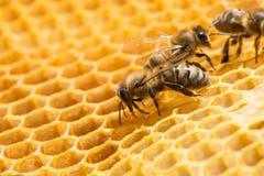 Macro of working bee on honeycells. Royalty Free Stock Photo