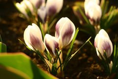 Macro world. Crocuses are white, heralds of spring. royalty free stock photography