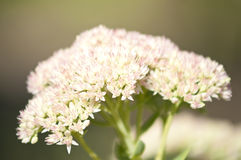 Macro of yarrow herb Royalty Free Stock Photo
