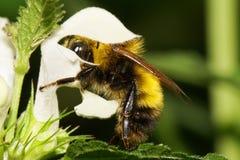 Macro yellow and black bumblebee Bombus lucorum Caucasus in the. Macro yellow and black large Caucasian bumblebee Bombus lucorum sitting and pollinates white stock images