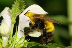 Macro yellow and black bumblebee caucasian on white dead-nettle. Macro yellow-black large Caucasian Bumblebee sitting in a white flower on a green nettle leaf royalty free stock image