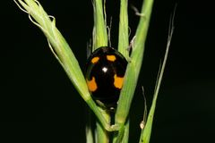 Macro of a yellow-black Caucasian ladybird in the grass. Macro yellow-black with specks of Caucasian ladybug with paws and head in green spike in summer stock photography