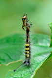 Macro of yellow black spider catching  caterpillar in the air Stock Photos