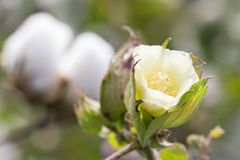 Macro of Yellow Bloom of Cotton Boll. Macro of delicate yellow bloom that is to become a cotton boll stem, with blurred cotton bolls as background Stock Photo