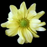 Macro Yellow Chrysanthemum Royalty Free Stock Photos