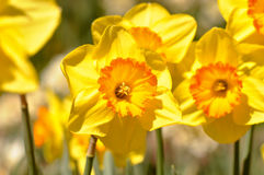 Macro of Yellow Daffodils Close Up Royalty Free Stock Images