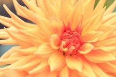 Macro of a yellow dahlia Royalty Free Stock Photos