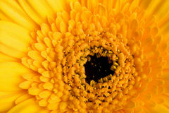 Macro of yellow daisy Stock Photography