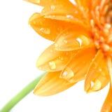 Macro of yellow daisy-gerbera head Royalty Free Stock Photography