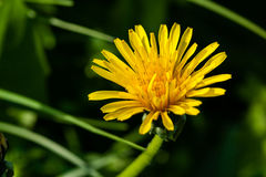 Macro of yellow dandelions on which royalty free stock photos