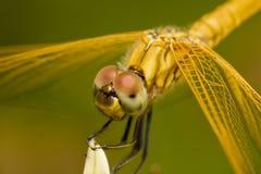 Macro yellow dragonfly. On still Stock Photos