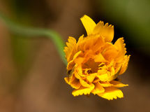 Macro of a yellow flower Royalty Free Stock Image